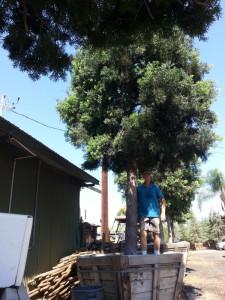 Podocarpus gracilior standard 60in box Standing in the box