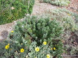 Name This Plant Above the Yellow Arctotis