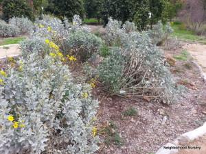 Eriophyllum nevinii 'Canyon Silver'