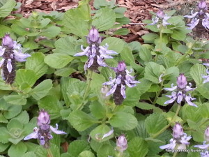 Prunella? We do not believe this is Plectranthus