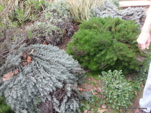 Santolina chamaecyparissus-Gray and Santolina virens?-Green