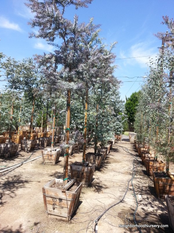 Acacia baileyana Purpurea std 24in