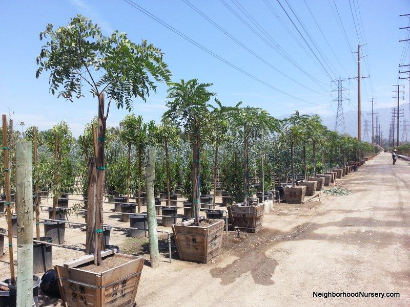 Cassia leptophylla - Gold Medallion Tree standard 24 in