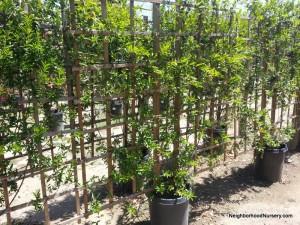 Gelsemium sempervirens- Carolina jessamine espalier #15