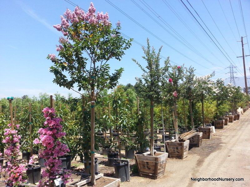 Lagerstroemia indica 'Pink' - Crepe Myrtle std 24in
