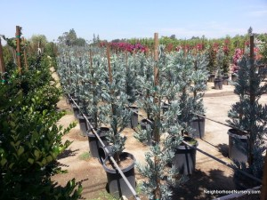 Podocarpus elongatus 'Icee Blue' column