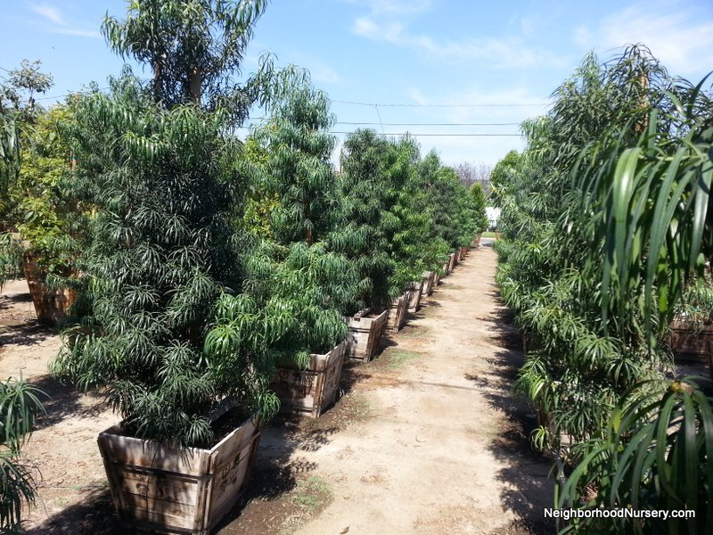 Podocarpus henkelli Espalier #15