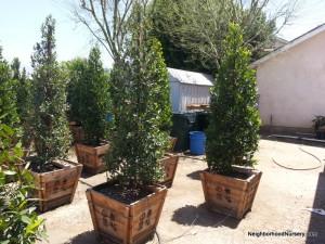 Prunus Caroliniana - Carolina Laurel Cherry column 24in