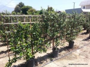 Trachelospermum jasminoides- Star Jasmine espalier #15