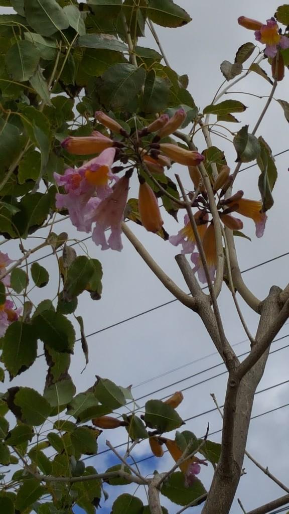 Handroanthus Impetiginosus Tabebuia Impetiginosus 24in
