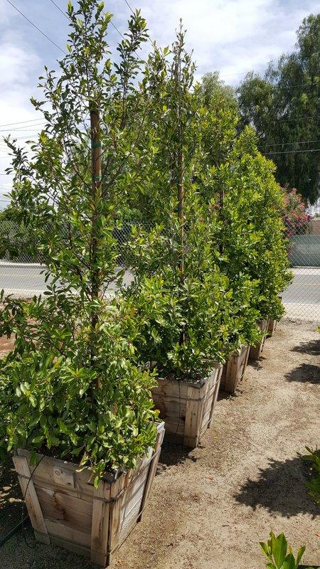 Prunus caroliniana 'Compacta' 24in- Carolina Cherry, Laurel Cherry 8x30