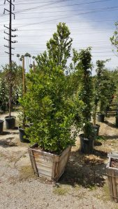 Prunus caroliniana clm 24in- Carolina Cherry, Laurel Cherry 7x36