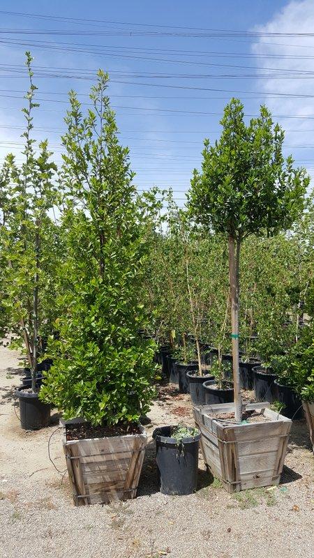 Prunus caroliniana clm and std 24in- Carolina Cherry, Laurel Cherry