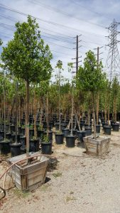 Prunus caroliniana std 24in- Carolina Cherry, Laurel Cherry 8'x36