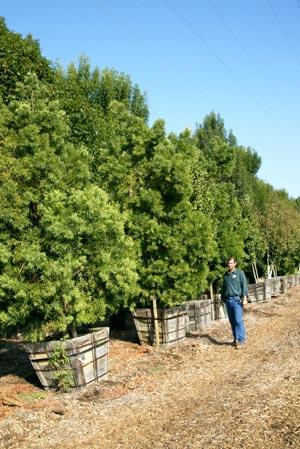 Podocarpus Varieties Neighborhood Nursery