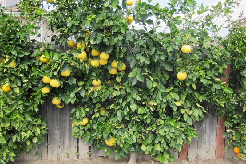 Oro Blanco Grapefruits Are So Sweet We Eat One Or Two A Day And They Hold On The Tree Very Well This Year Harvest Has Lasted From February Through
